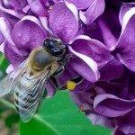 Biene auf Blüte violett
